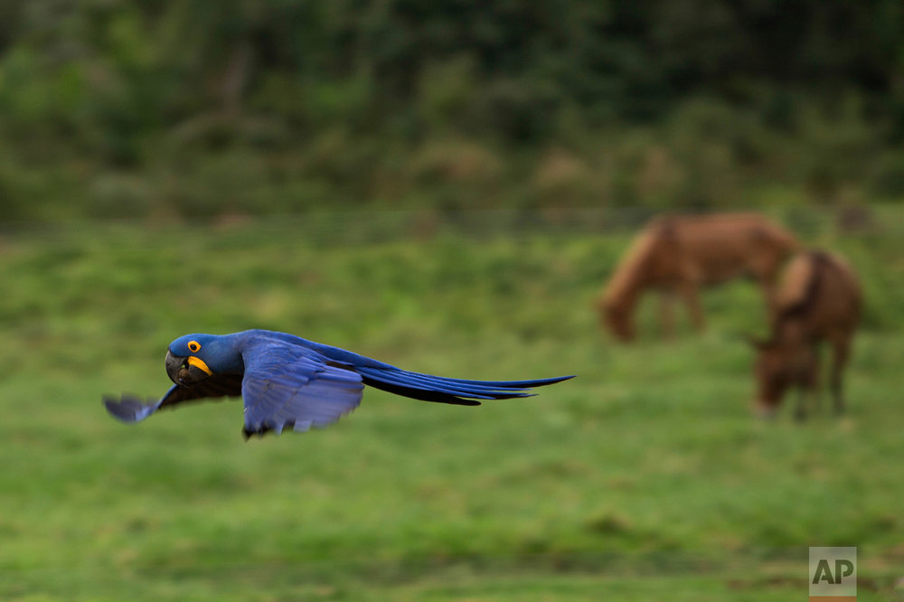 "In this May 16, 2017 photo, an ""Arara,"" or Macaw flies low over a ranch in Corumba, in the Pantanal wetlands of Mato Grosso do Sul state, Brazil. At different moments during a three-week pilgrimage in search of grass to graze for cattle, cowboys cross paths with macaws, deer and pit vipers, all seemingly unfazed by their presence. (AP Photo/Eraldo Peres)"
