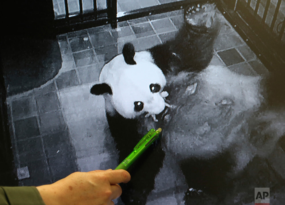 Japan Panda