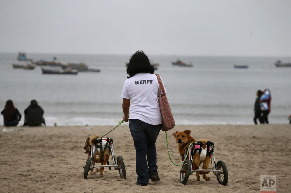 "In this Tuesday, June 20, 2017 photo, a volunteer walks a couple of paraplegic dogs at the Agua Dulce beach in Chorrillos district of Lima, Peru. The volunteer works with the ""Milagros Perrunos"" dog shelter where 70 dogs are taken care of. (AP Photo/Martin Mejia)"