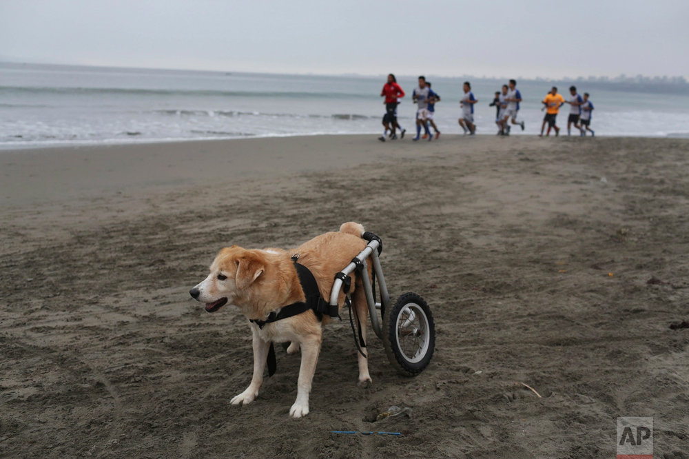 """In this Tuesday, June 20, 2017 photo, a paraplegic dog called """"Osito"""" rests after a run in his wheelchair at the Agua Dulce beach at the Chorrillos district of Lima, Peru. """"Osito"""" is part of a group of dogs that are taken care of by local resident Sara Moran, who has a shelter in her own home called """"Milagros Perrunos."""" (AP Photo/Martin Mejia)"""
