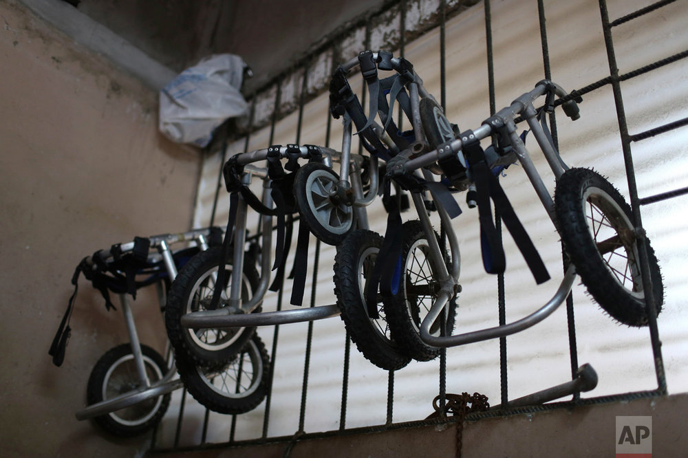 "In this Monday, June 19, 2017 photo, dog wheelchairs hang from a window at the ""Milagros Perrunos"" dog shelter in the Chorrillos neighborhood of Lima, Peru. Sara Moran runs the shelter from her own home called ""Milagros Perrunos"" where she cares for 70 dogs. (AP Photo/Martin Mejia)"