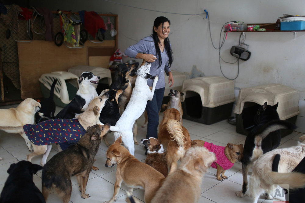 """In this Monday, June 19, 2017, Sara Moran plays with group of dogs inside of her home in the Chorrillos neighborhood in Lima, Peru. Moran has a dog shelter in her own home called """"Milagros Perrunos"""" where she cares for 70 stray dogs, some of whom are also paraplegic or sick with cancer. (AP Photo/Martin Mejia)"""