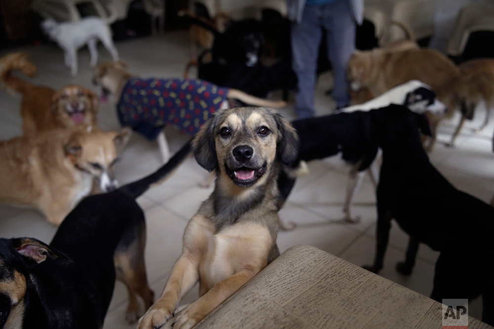"""In this Monday, June 19, 2017, a dog called """"Teresita"""" plays at the """"Milagros Perrunos"""" dog shelter in the Chorrillos neighborhood of Lima, Peru. All of the dogs come from the large population of abandoned canines that roam Lima's streets. (AP Photo/Martin Mejia)"""