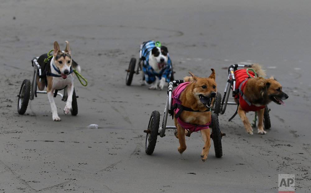 In this Tuesday, June 20, 2017 photo, a group of paraplegic dogs run with the help of their wheelchairs on the Agua Dulce beach in the Chorrillos neighborhood of Lima, Peru. The dogs are cared for by local resident Sara Moran. In winter, when most Peruvians avoid the beach, she takes the dogs on frequent runs across the hard, black sand. (AP Photo/Martin Mejia)