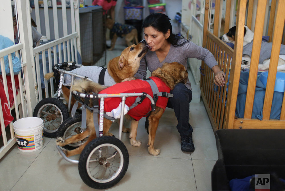 "In this Monday, June 19, 2017 photo, Sara Moran is greeted by two paraplegic dogs called ""Huellitas"" and ""Osito"" in the Chorrillos neighborhood in Lima, Peru. ""They are completely pure,"" she says. ""Their souls have no perversions."" (AP Photo/Martin Mejia)"