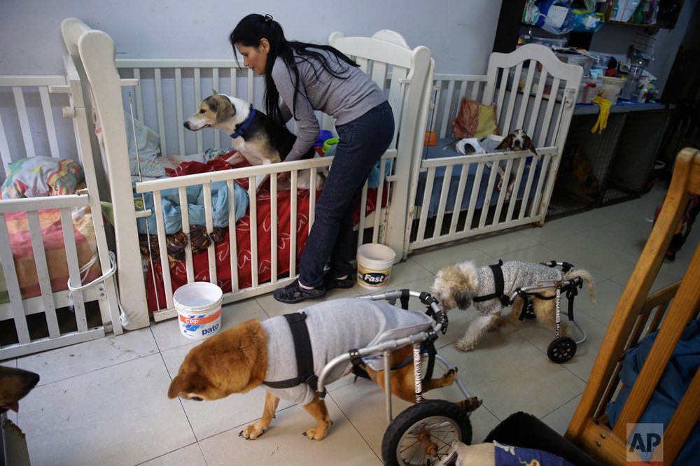 """In this Monday, June 19, 2017 photo, Sara Moran changes the diaper of """"Pecas"""" on of the 70 stray and ailing dogs she keeps at her makeshift dog shelter, at her home in the Chorrillos neighborhood of Lima, Peru.  """"Sometimes I think God has given me this mission,"""" said Moran, 48, as she changes a diaper for Pecas, one of eight that she's recently rescued and which gets around on a doggie wheelchair. (AP Photo/Martin Mejia)"""