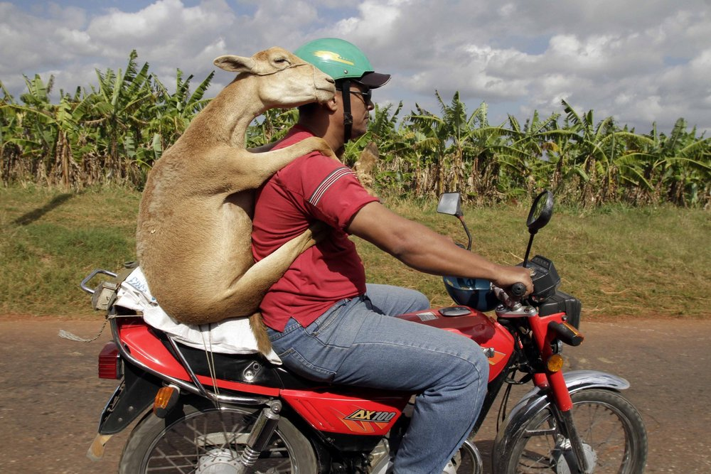 ADDS MAN'S DESTINATION AND NAME OF MUNICIPALITY - A man carries a lamb home as he drives on a motorcycle in the municipality of San Antonio de Los Banos in Havana, Cuba, Thursday Jan 6, 2011. (AP Photo/Franklin Reyes)