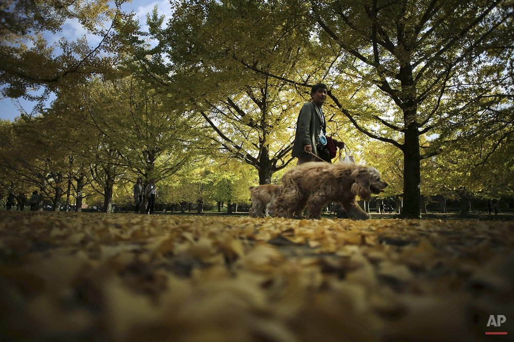 A man walks his dog along the autumn colored ginkgo tree-lined avenue on a cool day at Showa Memorial Park in Tokyo, Friday, Nov. 7, 2014. (AP Photo/Eugene Hoshiko)