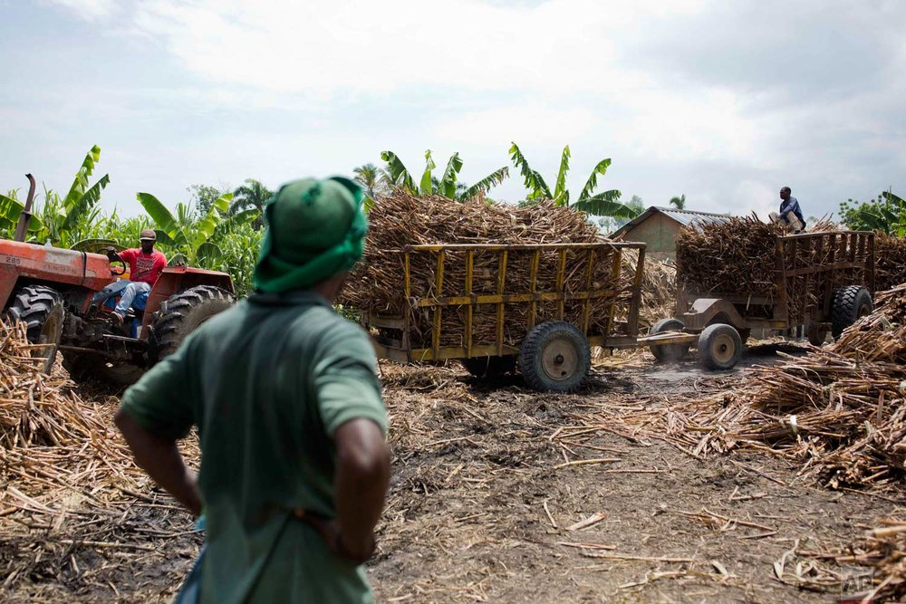 In this June 16, 2017 photo, a worker watches others bring in trucks of freshly cut sugar cane at the Ti Jean distillery, which produces clairin, a sugar-based alcoholic drink in Leogane, Haiti. After the sugar cane juice is fermented and filtered, it is shipped in plastic jugs to be sold in market stalls and by street merchants around the region. (AP Photo/Dieu Nalio Chery)