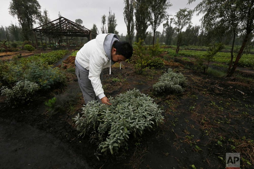 "In this July 13, 2017 photo, Ichiro Kitazawa, a chef at the Japanese restaurant Rocoi, inspects herbs on a floating garden known as a ""chinampa"" in Xochimilco in Mexico City. (AP Photo/Marco Ugarte)"