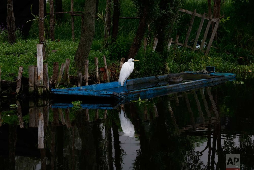 "In this July 13, 2017 photo, a heron perches on a boat tied to a floating farm known as a ""chinampa"" in Xochimilco, Mexico City. (AP Photo/Marco Ugarte)"