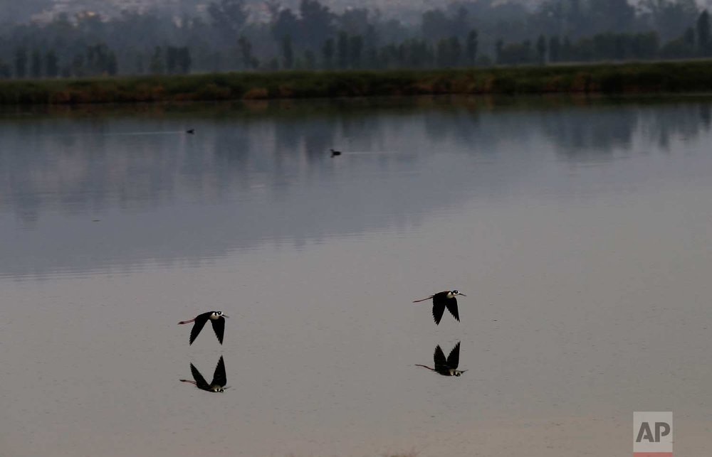 In this June 27, 2017 photo, birds skim the channels of Xochimilco in Mexico City. (AP Photo/Marco Ugarte)