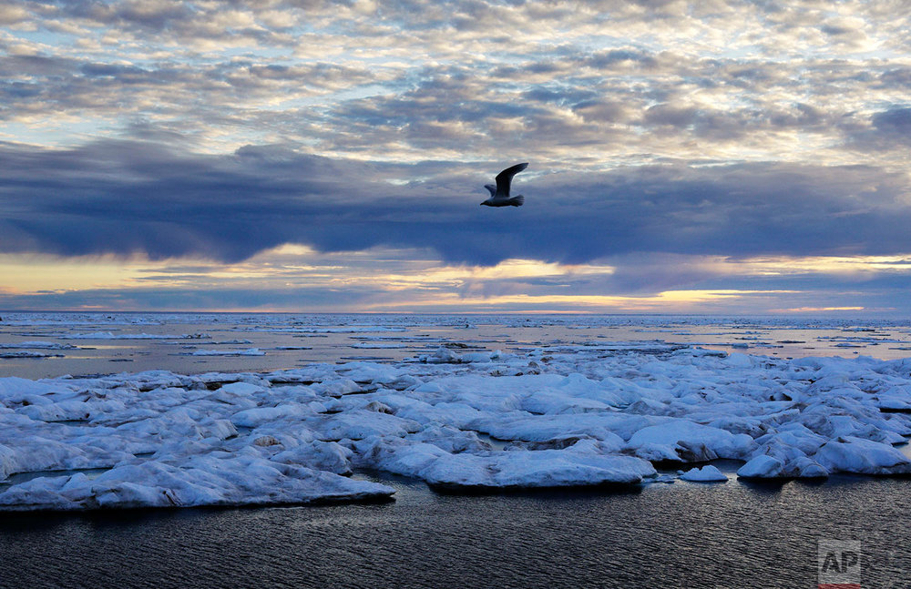 A bird flies above sea ice on the Victoria Strait along the Northwest Passage in the Canadian Arctic Archipelago, Friday, July 21, 2017. Sea ice forms when the top layer of water reaches freezing point, usually around the start of October. As temperatures continue to fall this first-year ice grows downward until it is several feet thick. If the ice survives the following summer melt it becomes second-year ice. Another cycle and it becomes multi-year ice  which is the toughest kind. (AP Photo/David Goldman)