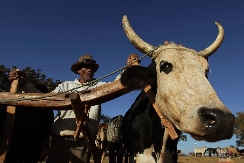 In this July 21, 2017 photo, a cowboy drives his team of oxen, before the ascent to the Serra da Boa Vista, during the Ox Cart Festival in Vazante, Minas Gerais state, Brazil. The cart with wooden wheels and pulled by teams of oxen was extensively used to transport trade goods and supplies between the cities of the interior and the capital in the coast. (AP Photo/Eraldo Peres)