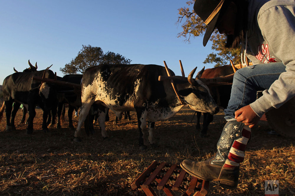 In this July 21, 2017 photo, a cowgirl puts on her boots at sunrise, before the ascent to the Serra da Boa Vista, during the Ox Cart Festival in Vazante, Minas Gerais state, Brazil. Farmers in the region use the corn harvest period in July to revive the tradition of traveling hundreds of miles in their ox carts. (AP Photo/Eraldo Peres)