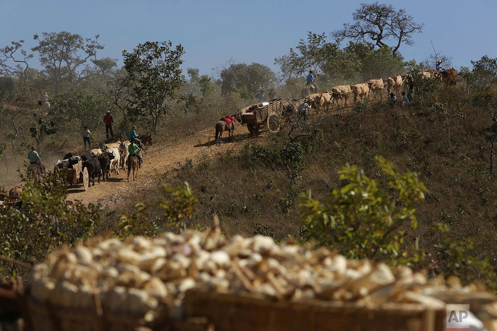 In this July 21, 2017 photo, ox carts climb the Serra da Boa Vista, during the Ox Cart Festival in Vazante, Minas Gerais state, Brazil. Apart from their kit and tools, some carts are laden with 200 kg. of corn, a symbol of the regions abundant corn harvest. (AP Photo/Eraldo Peres)