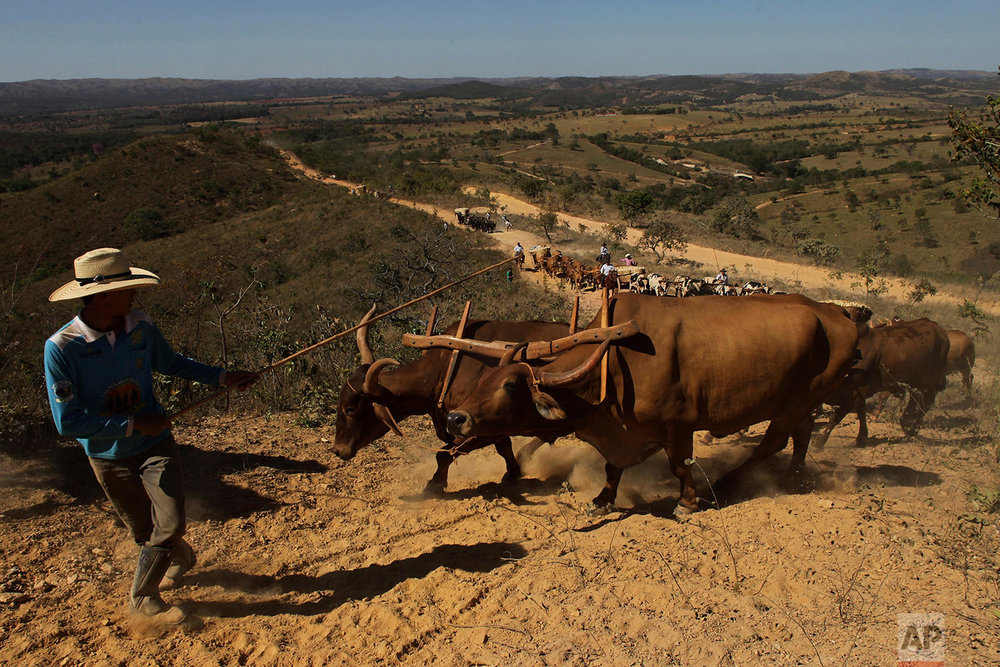 In this July 21, 2017 photo, ox carts climb the Serra da Boa Vista, during the Ox Cart Festival in Vazante, Minas Gerais state, Brazil. The ox carts will travel 20 km. up the Serra da Boa Vista driving through winding dirt roads and steep cliff sides in a display of the driver's ability. (AP Photo/Eraldo Peres)