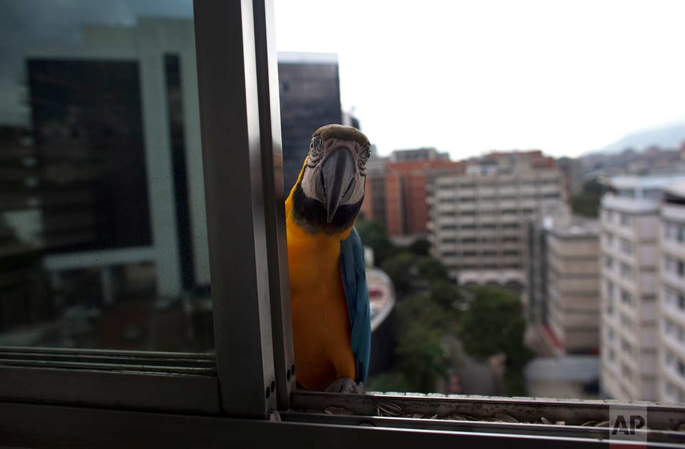 A macaw peers through a window of an apartment waiting to be fed, in Caracas, Venezuela. They are a common site sitting on the ledges of high-rise buildings or perched on antennas. (AP Photo/Ariana Cubillos)