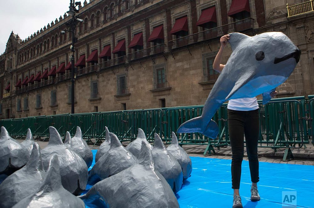 A young woman with the World Wildlife Fund carries a papier mache replica of the critically endangered porpoise known as the vaquita marina, during an event in front of the National Palace calling on the Mexican government to take additional steps to protect the world's smallest marine mammal, in Mexico City, Saturday, July 8, 2017. (AP Photo/Rebecca Blackwell)