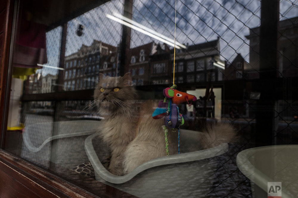 In this Wednesday, Aug. 2, 2017 photo, Kasumi, a 9-year-old-cat looks out the window of the boat at the Catboat shelter in Amsterdam, Netherlands. (AP Photo/Muhammed Muheisen)