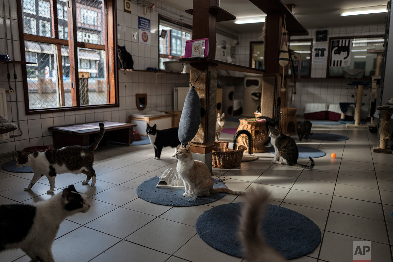 In this Wednesday, Aug. 2, 2017 photo, cats gather for food on the Catboat shelter in Amsterdam, Netherlands. (AP Photo/Muhammed Muheisen)