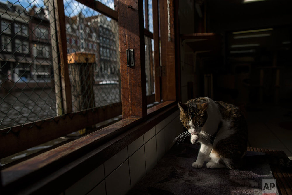 In this Wednesday, Aug. 2, 2017 photo, Borre, an 8-year-old cat cleans himself at the Catboat shelter in Amsterdam, Netherlands. (AP Photo/Muhammed Muheisen)