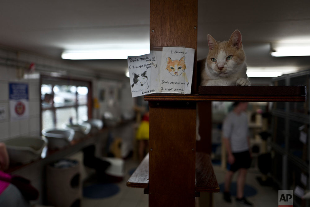 In this Saturday, July 22, 2017 photo, Samus, a ten-year-old cat rests on a shelf at the Catboat shelter in Amsterdam, Netherlands.  (AP Photo/Muhammed Muheisen)