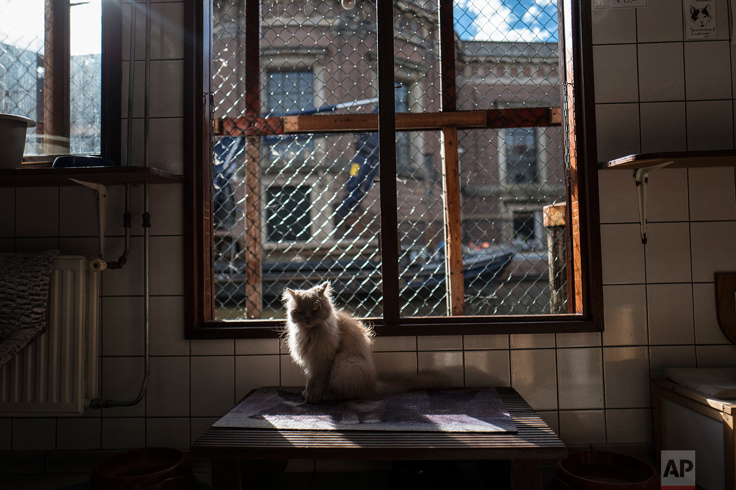 In this Wednesday, Aug. 2, 2017 photo, Kasumi, a 9-year-old cat sits in a spot of light at the Catboat shelter in Amsterdam, Netherlands. (AP Photo/Muhammed Muheisen)