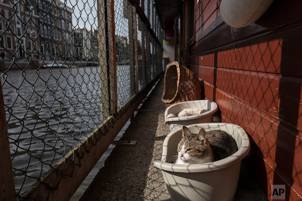 In this Wednesday, Aug. 2, 2017 photo, Borre, an 8-year-old cat sits in a basket next to the canal on the Catboat shelter in Amsterdam, Netherlands. (AP Photo/Muhammed Muheisen)