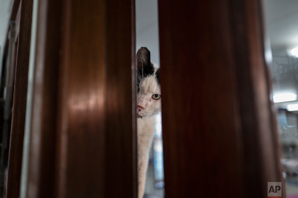In this Wednesday, Aug. 2, 2017 photo, Koeienkat, a 10-year-old cat peeks through the a door at the Catboat shelter in Amsterdam, Netherlands. (AP Photo/Muhammed Muheisen)