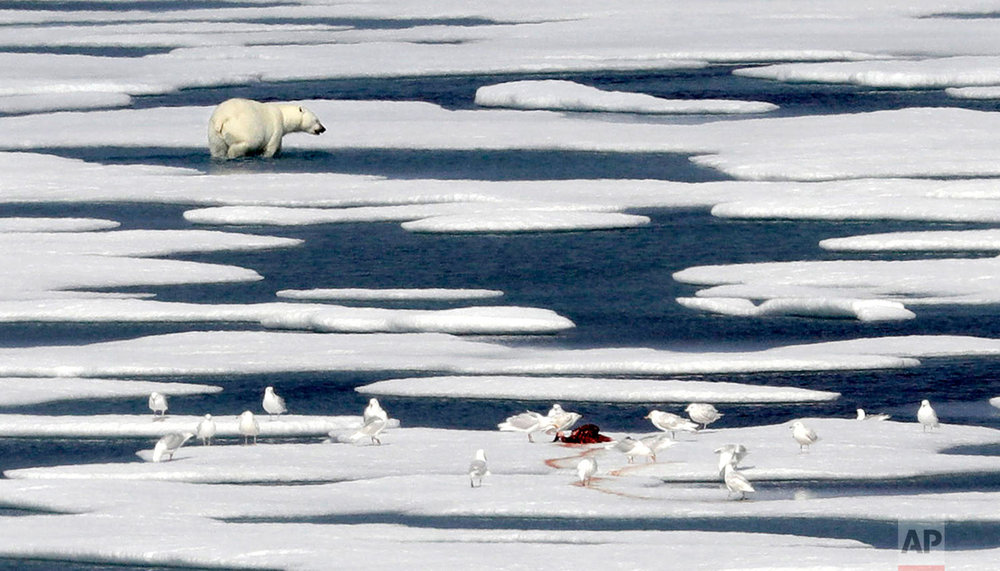 A polar bear walks away after feasting on the carcass of a seal on the ice in the Franklin Strait in the Canadian Arctic Archipelago, Saturday, July 22, 2017. No Arctic creatures have become more associated with climate change than polar bears. The U.S. Fish and Wildlife Service estimated in January that about 26,000 specimens remain in the wild. (AP Photo/David Goldman)