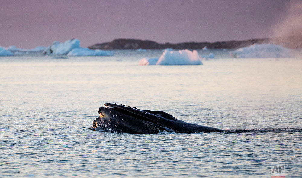 The mouth of a humpback whale emerges while swimming in the Nuup Kangerlua Fjord near Nuuk in southwestern Greenland, Tuesday, Aug. 1, 2017. Algae that cling to the underside of sea ice are losing their habitat. If they vanish, the impact will be felt all the way up the food chain. Copepods, a type of zooplankton that eats algae, will lose its source of food. The tiny crustaceans in turn are prey for fish, birds and whales. (AP Photo/David Goldman)