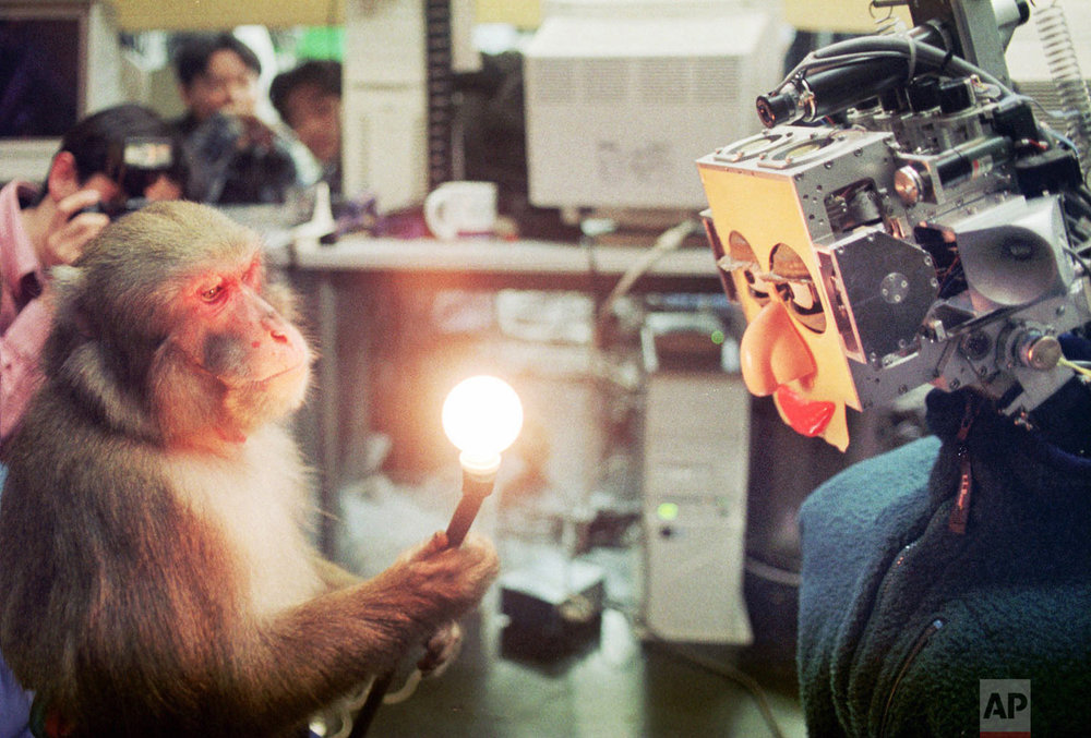 "In this Saturday, Nov. 1, 1997 photo, the robot ""Hadaly 2"" follows the movement of a light held by Choromatsu, a 10-year-old male monkey, during an experiment at Waseda University in Tokyo. The university's team, which has been working on humanoid robots for more than 30 years, held the world first ever interface experiment between robot and monkey. (AP Photo/Katsumi Kasahara)"