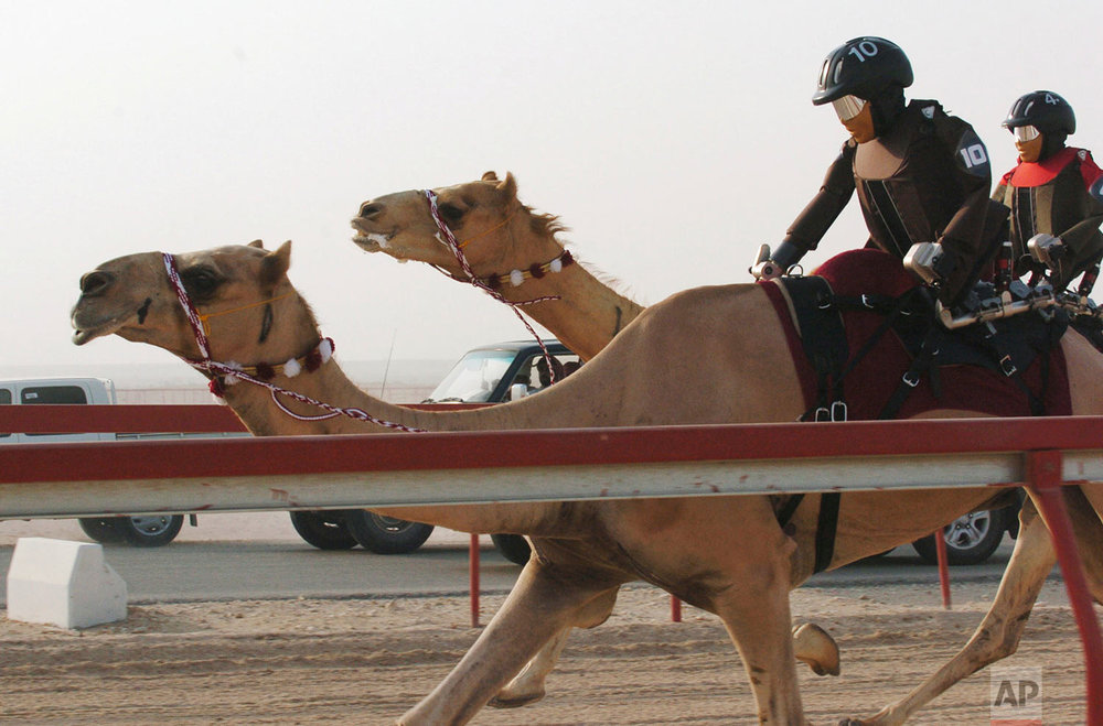 In this Wednesday, July 13, 2005 file photo, robot jockeys race camels at Al Shahaniyya Camel Racecourse on the outskirts of Doha, Qatar. Seven robots participated in the race. In 2004, Qatar banned the use of children as jockeys in camel races. According to the race officials the first ever robot camel race was a successful event. (AP Photo)