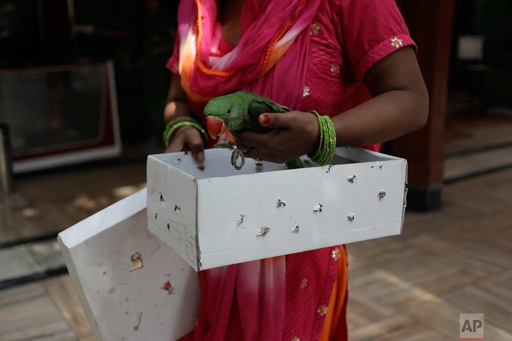In this Wednesday, Aug. 16, 2017 photo, an Indian woman brings a parrot injured by kite strings to the Charity Birds Hospital in New Delhi, India. (AP Photo/Tsering Topgyal)
