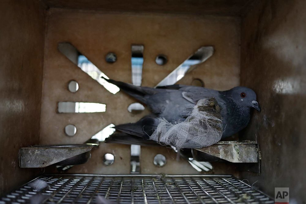 In this Wednesday, Aug. 16, 2017 photo, a pigeon injured by kite strings rests inside a cage at the Charity Birds Hospital in New Delhi, India. (AP Photo/Tsering Topgyal)