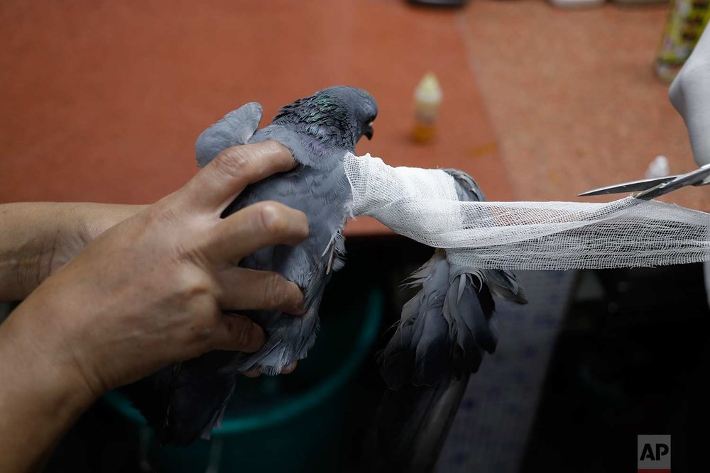 In this Wednesday, Aug. 16, 2017 photo, a pigeon injured by a kite string is treated at Charity Birds Hospital in New Delhi, India. (AP Photo/Tsering Topgyal)