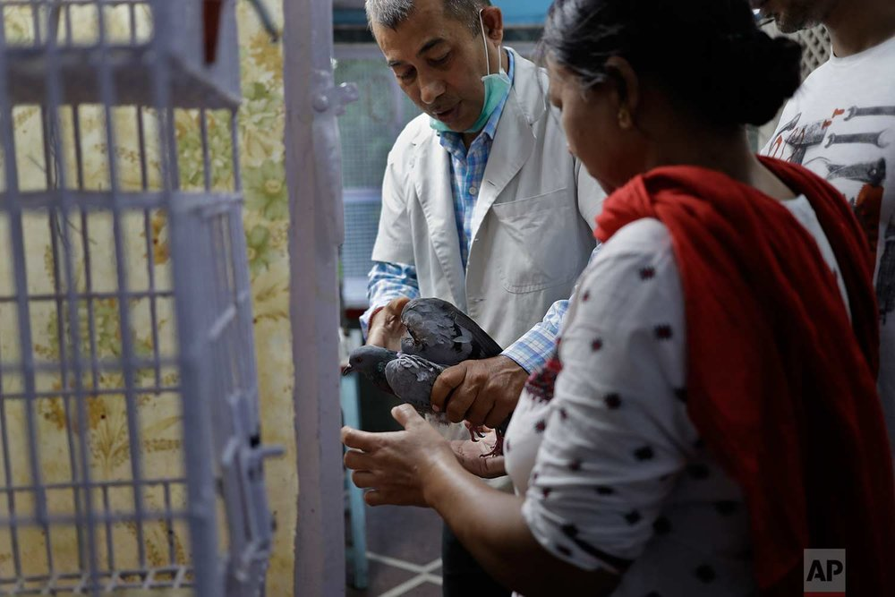 In this Wednesday, Aug. 16, 2017 photo, veterinarian Rameshwar Yadav, 51, treats a pigeon injured by kite strings at Charity Birds Hospital in New Delhi, India. (AP Photo/Tsering Topgyal)
