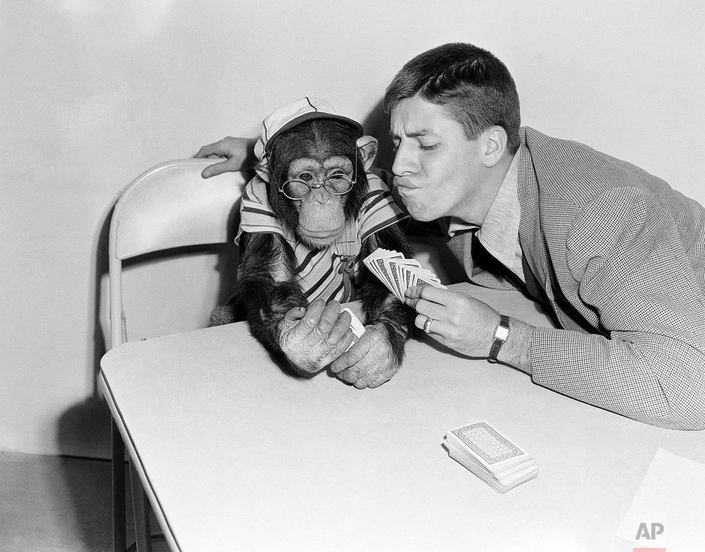 Comedian Jerry Lewis try to figure out how Pierre, a five-year old chimpanzee, and fellow Hollywood actor, managed to get seven aces and three red threes during a canasta game they were playing on Jan. 27, 1950.   After all Jerry dealt the cards. (AP Photo/Frank Filan)