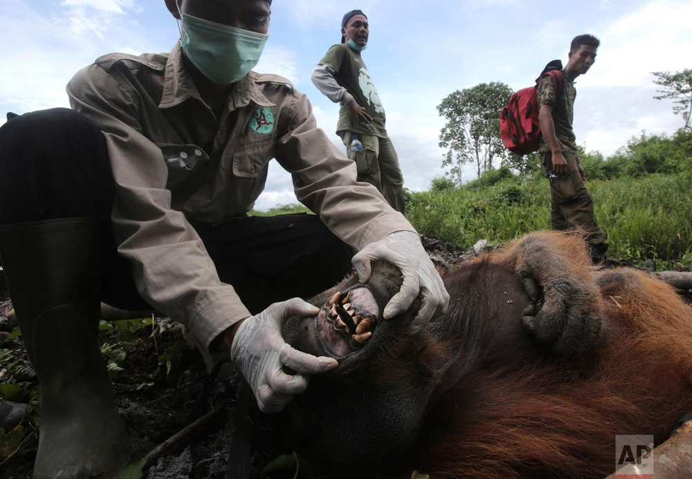"In this Thursday, Aug. 10, 2017 photo, Pandu Wibisono, a veterinarian of the Sumatran Orangutan Conservation Program (SOCP), examines a tranquilized male orangutan being rescued from a forest located too close to a palm oil plantation at Tripa peat swamp in Aceh province, Indonesia. Conservationists relocated the orangutan they named ""Black"" to a reintroduction center in Jantho, Aceh Besar, where he will join about 100 other primates that have been released in the jungle there to establish a new wild population. (AP Photo/Binsar Bakkara)"