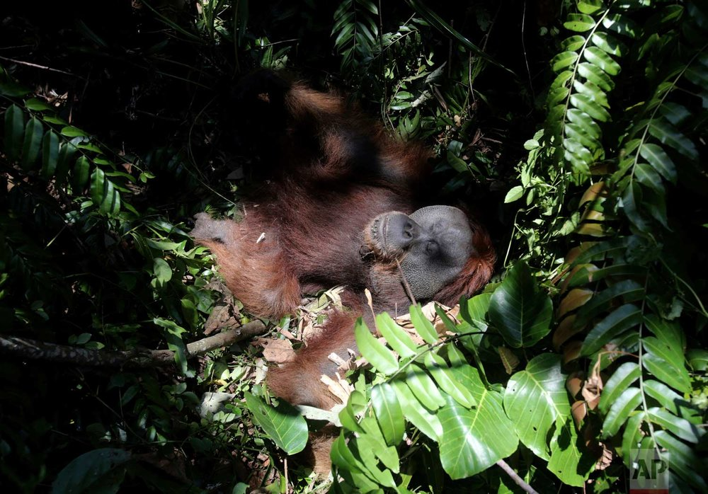 In this Thursday, Aug. 10, 2017 photo, a tranquilized orangutan lies on the ground before being relocated from a swath of forest near a palm oil plantation at Tripa peat swamp in Aceh province, Indonesia. (AP Photo/Binsar Bakkara)