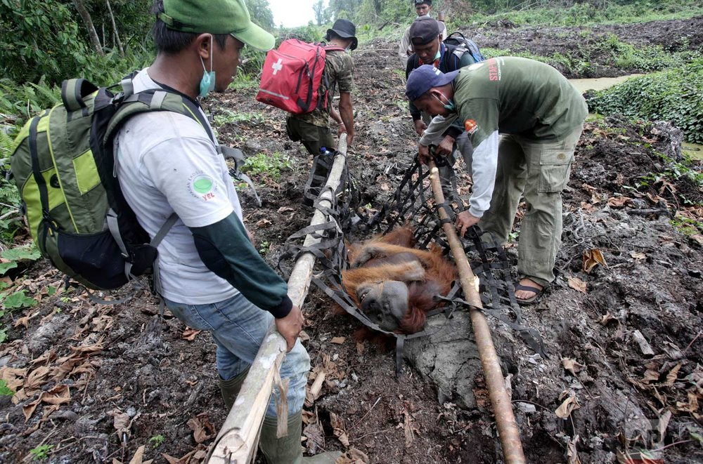 In this Thursday, Aug. 10, 2017 photo, conservationists of the Sumatran Orangutan Conservation Program (SOCP) use a makeshift stretcher to carry a tranquilized orangutan as it is being relocated from a swath of forest near a palm oil plantation at Tripa peat swamp in Aceh province, Indonesia. (AP Photo/Binsar Bakkara)