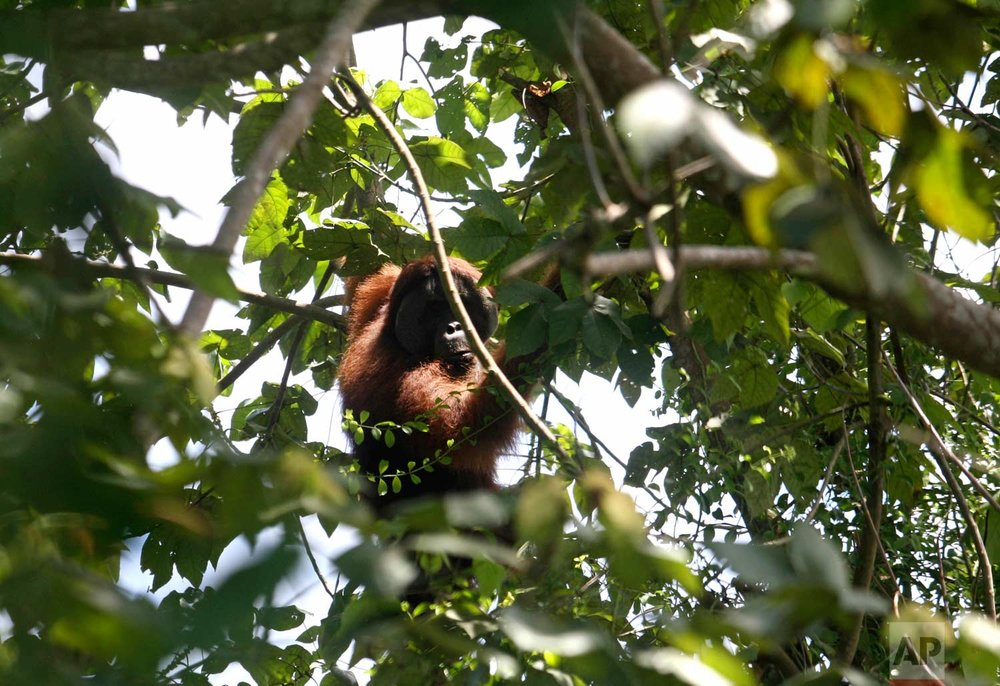 In this Thursday, Aug. 10, 2017 photo, an orangutan holds on to the branch of a tree before being rescued and relocated from a swath of forest near a palm oil plantation at Tripa peat swamp in Aceh province, Indonesia. As demand for palm oil soars, plantations are expanding and companies drain the swamp, clear the forest of its native trees, and often set illegal fires which in turn robs orangutans and other endangered species of their habitats, leaving the animals marooned on small swaths of forest, boxed-in on all sides by plantations. (AP Photo/Binsar Bakkara)