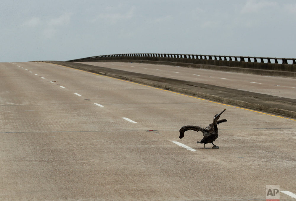 A pelican injured during Hurricane Harvey limps across a bridge Saturday, Aug. 26, 2017, in Port Lavaca, Texas. (AP Photo/Charlie Riedel)