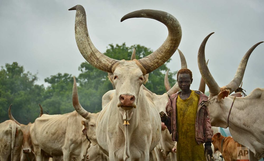 In this photo taken Monday, July 31, 2017, a young South Sudanese boy learns how to take care of cattle at a camp outside the town of Rumbek, South Sudan. (AP Photo/Mariah Quesada)