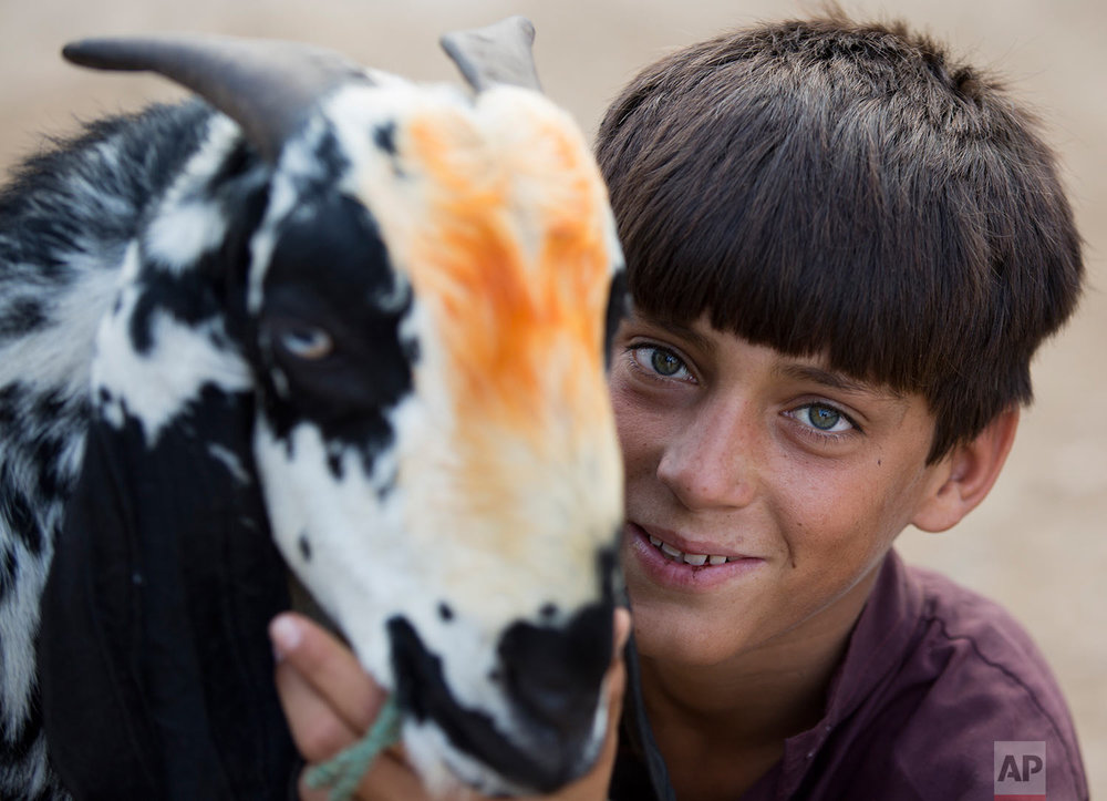 Ibrahim poses with his animal at a cattle market ahead of Muslim Eid al-Adha holiday in Islamabad, Pakistan, Friday, Aug. 25, 2017. Eid al-Adha, or Feast of Sacrifice, most important Islamic holiday marks the willingness of the Prophet Ibrahim (Abraham to Christians and Jews) to sacrifice his son. (AP Photo/B.K. Bangash)