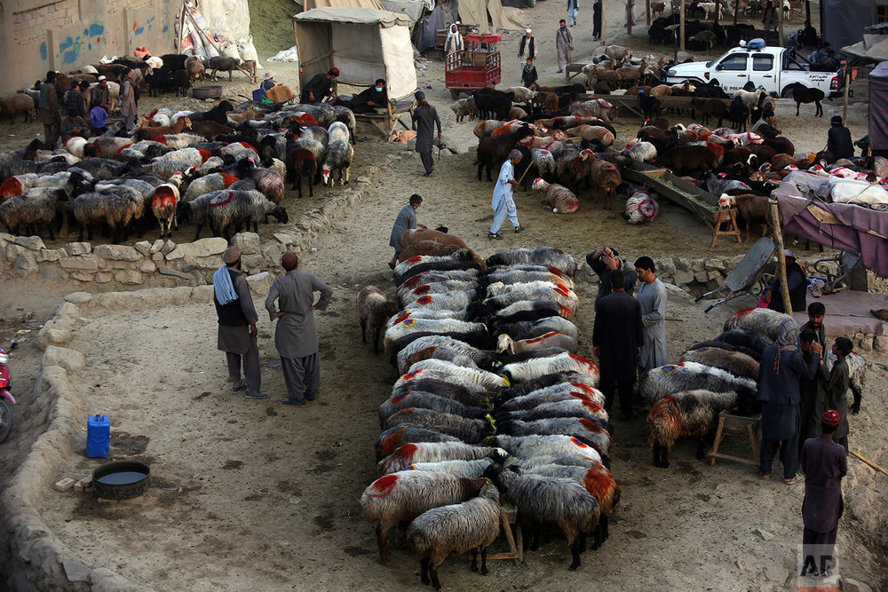 Afghan livestock merchants display animals for sale prior to the upcoming Eid al-Adha holiday, at a market in Kabul, Afghanistan, Tuesday, Aug. 29, 2017. (AP Photo/Rahmat Gul)