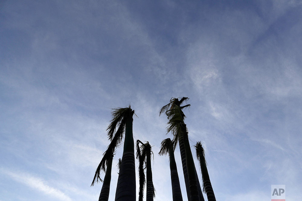 Pam trees stand ripped of their fronds in the aftermath of Hurricane Irma in Marco Island, Fla., Monday, Sept. 11, 2017. (AP Photo/David Goldman)