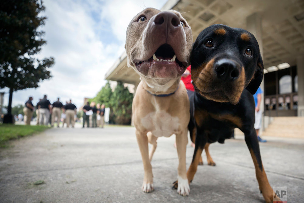 Two pet dogs wait while their owner registers them with the pet evacuation team at the Savannah Civic Center, Saturday, Sept., 9, 2017 in Savannah, Ga. (AP Photo/Stephen B. Morton)