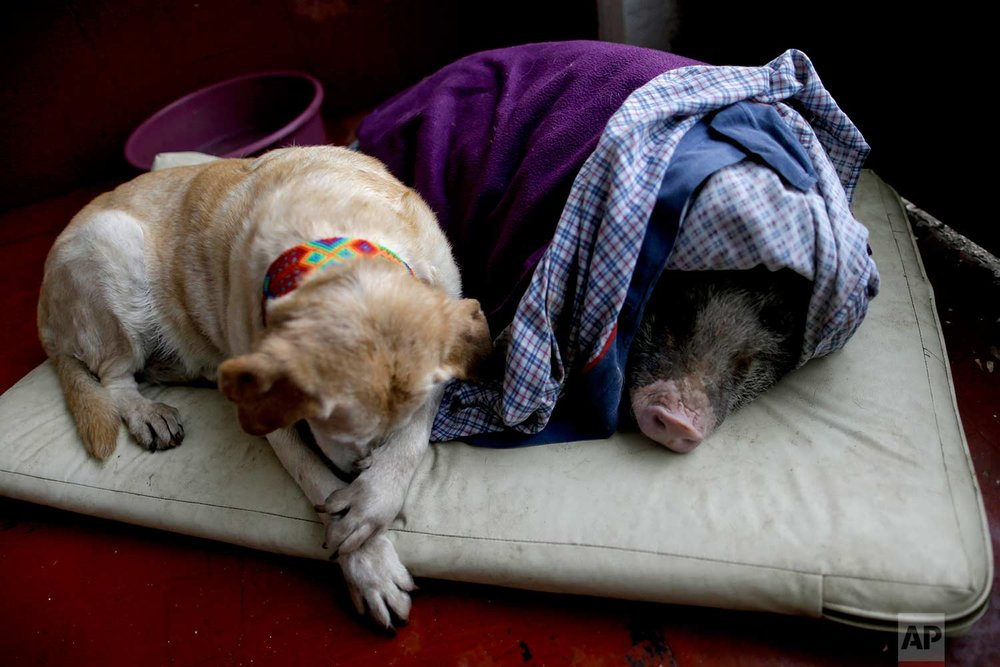 Algeria, left, and Jacinto, rest at a temporary home in the aftermath of a 7.1-magnitude earthquake, in Mexico City, Friday, Sept. 22, 2017. The dog and the pig fled with their owners during Tuesday's powerful earthquake that devastated Mexico City and nearby states. (AP Photo/Natacha Pisarenko)